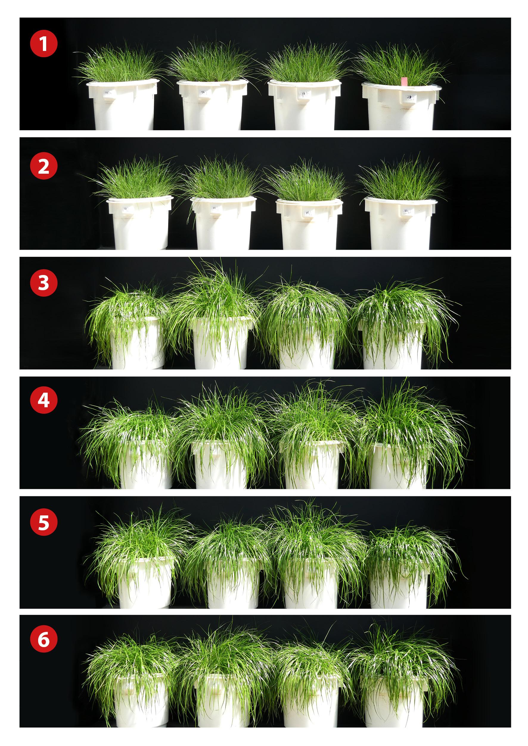 Glatt_PHOS4green-Planting-Trials_Harvest1_Ryegrass_Lollium